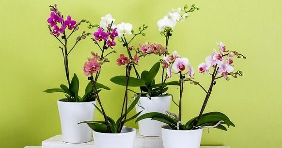 Orchidee: annaffiatura, rinvaso e potatura