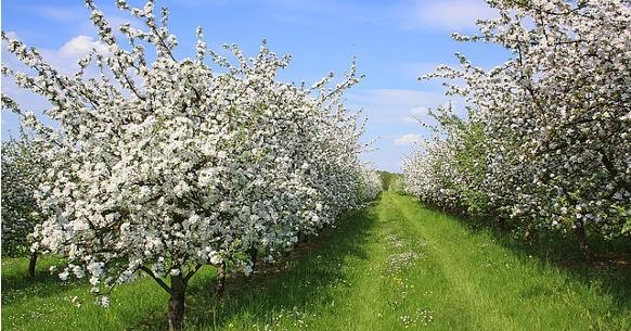 Apfelbluehte