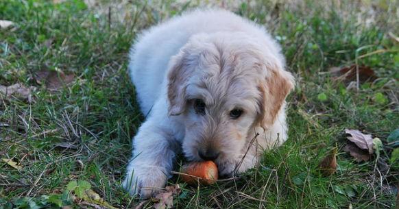 Cane e carota