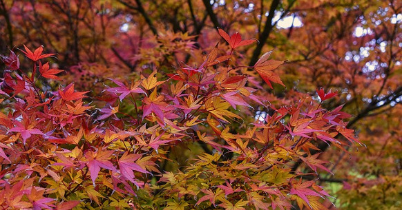 Japanese-maple
