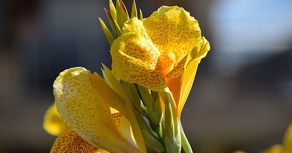 Canna da fiore