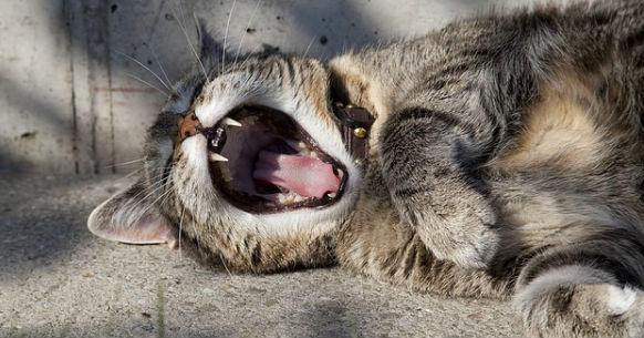 Gatto denti1
