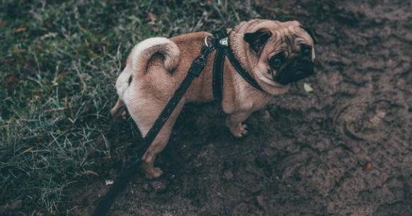 Cane in passeggiata