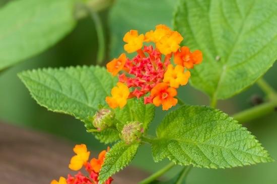 Lantana, fiori e foglie