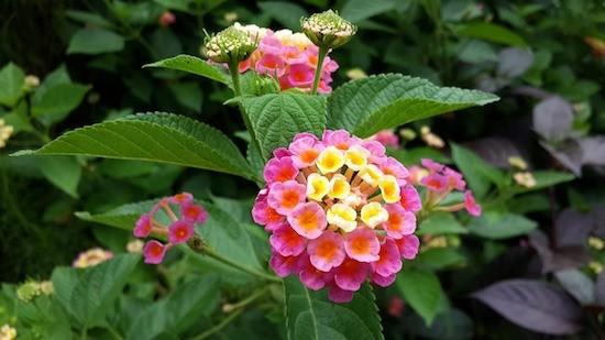 Lantana, fiori