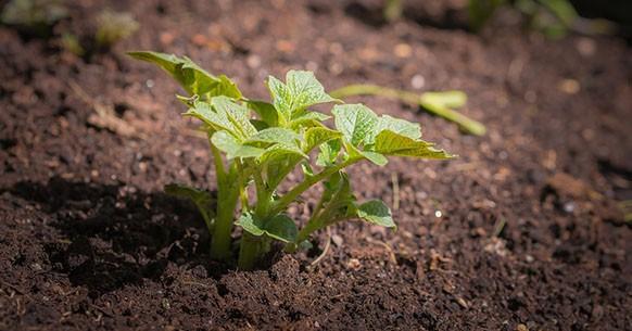 Patata, pianta
