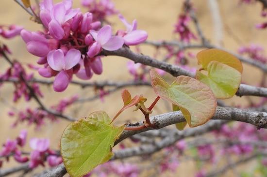 Albero di Giuda, fiori e foglie