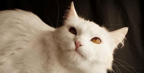 Gatto d'Angora turco