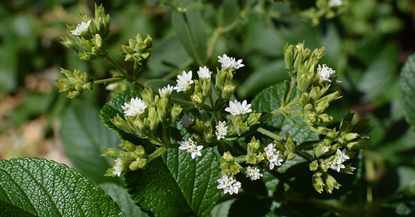 Stevia fiori