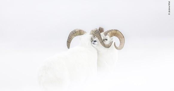 Bighorn bianchi