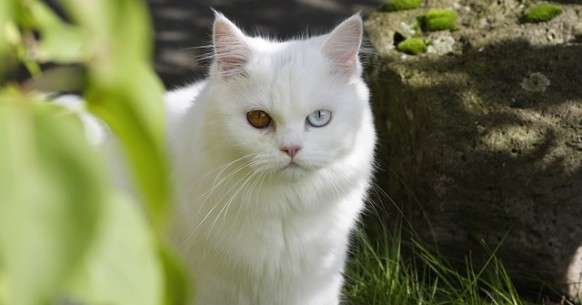 Gatto con occhi bicolore