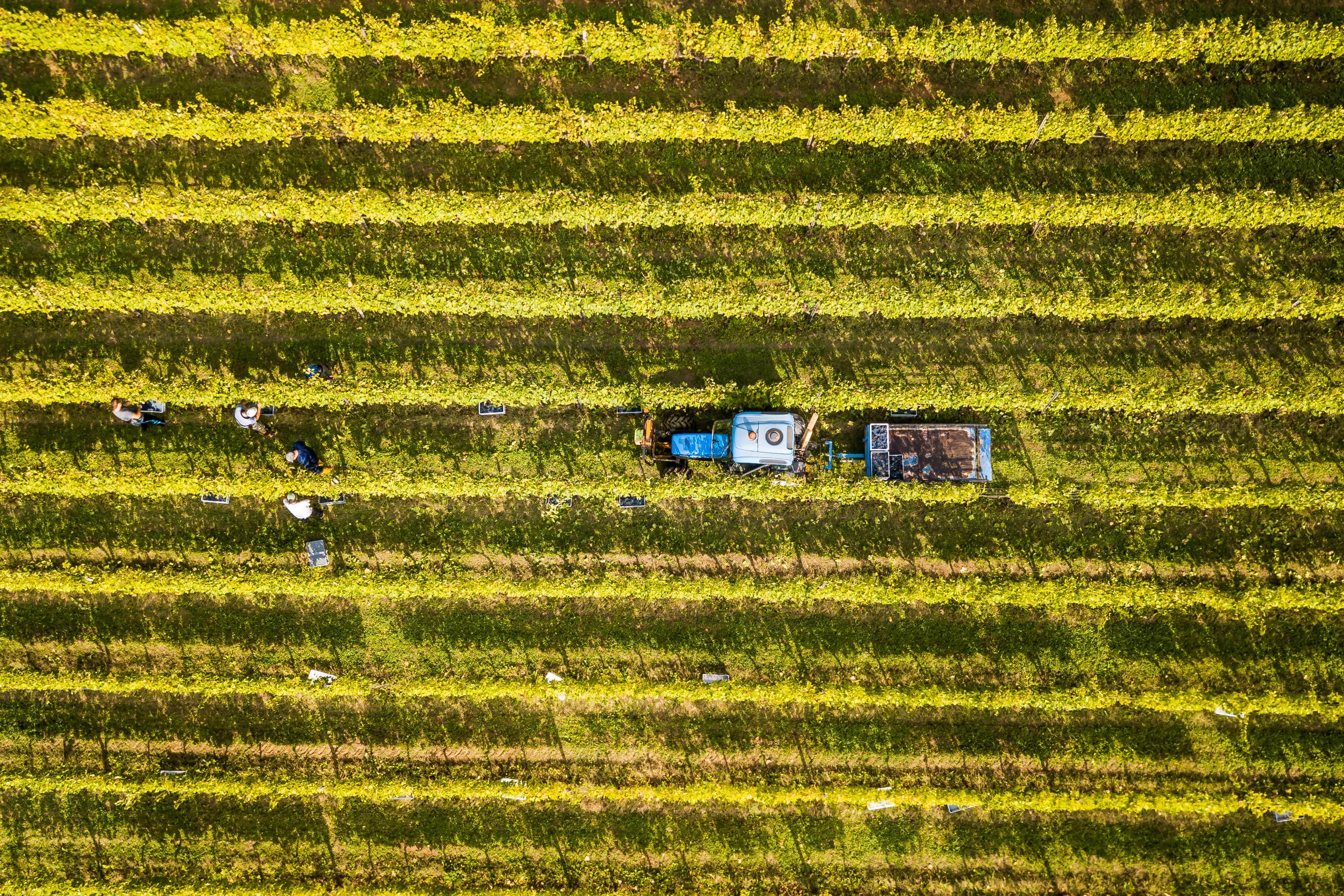 Gruppo Caviro campi uva