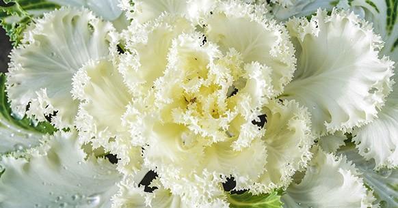 Cavolo ornamentale bianco