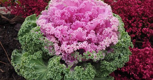 Cavolo ornamentale rosa