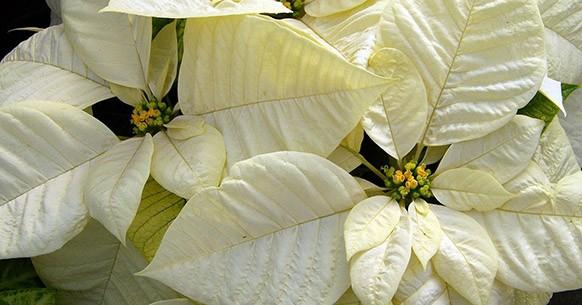 Stella di Natale bianca