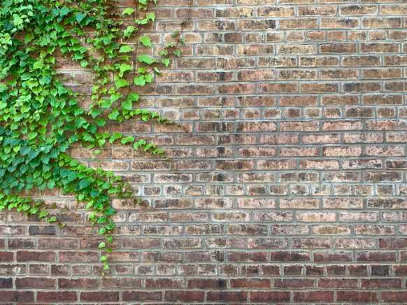 piante rampicanti da usare