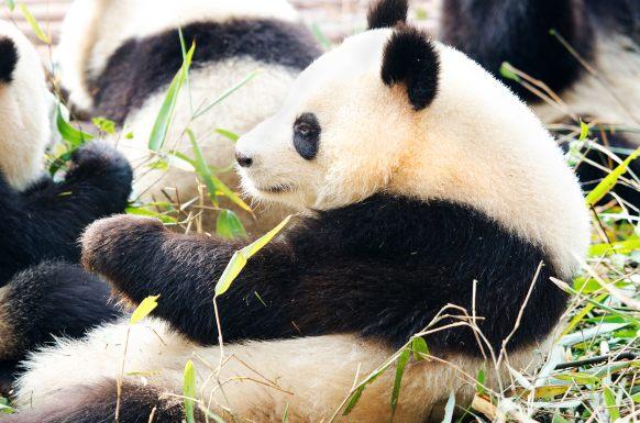 10 curiosità sui cuccioli di panda