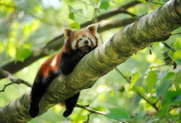 Panda rosso: tutte le curiosità