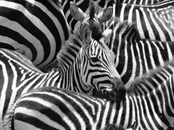 Lista di tutte le curiosità sulle zebre