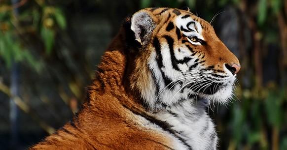 Tigre, profilo