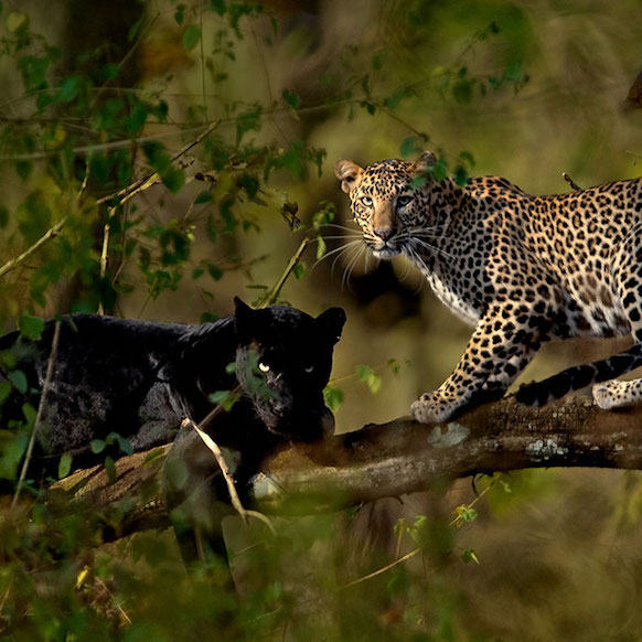 Wildlife photography Mithun