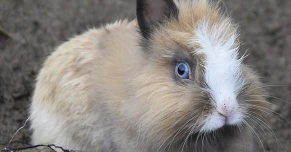 Coniglio nano colorato