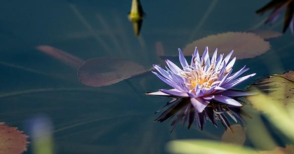 Fiore acquatico viola