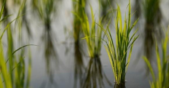 Piantagioni di riso