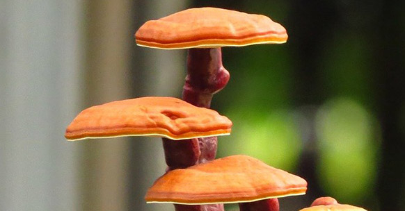 Ganoderma, bonsai