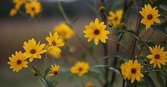 Arnica, fiori