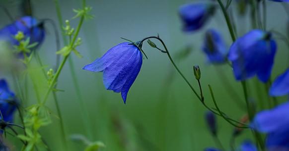 Campanula azul