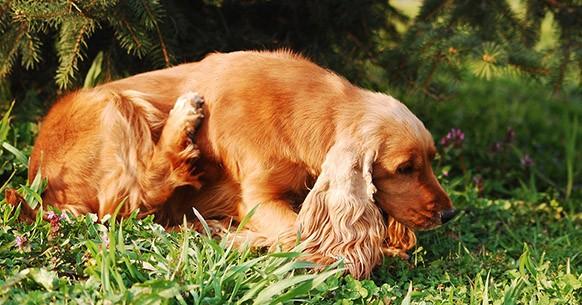 Cane si gratta, pulci o agitazione