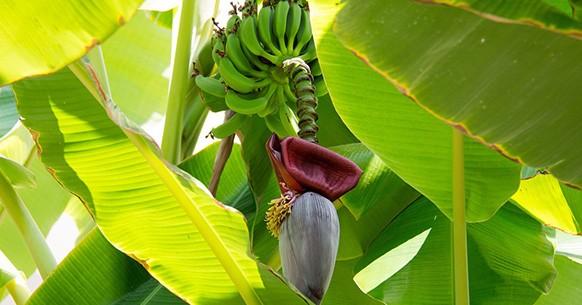 Banano, varietà
