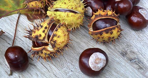 Ippocastano, frutti e semi