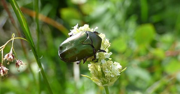 Maggiolino verde