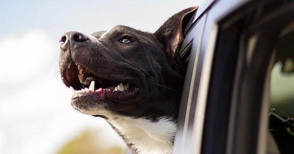 Cura dei cani in estate, viaggiare in auto