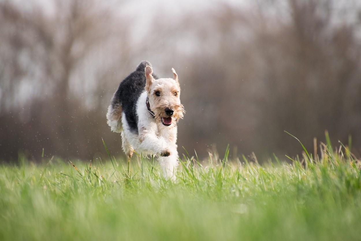 cani da caccia terrier