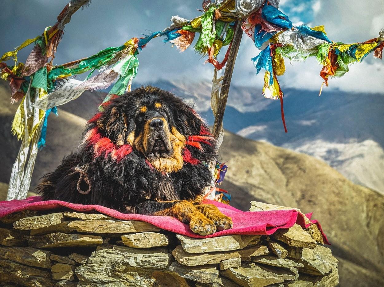 cani da guardia mastino tibetano