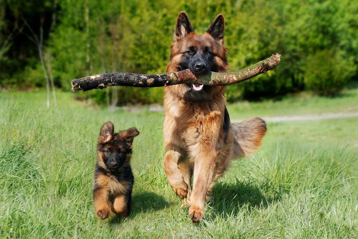 cani da pastore pastore tedesco
