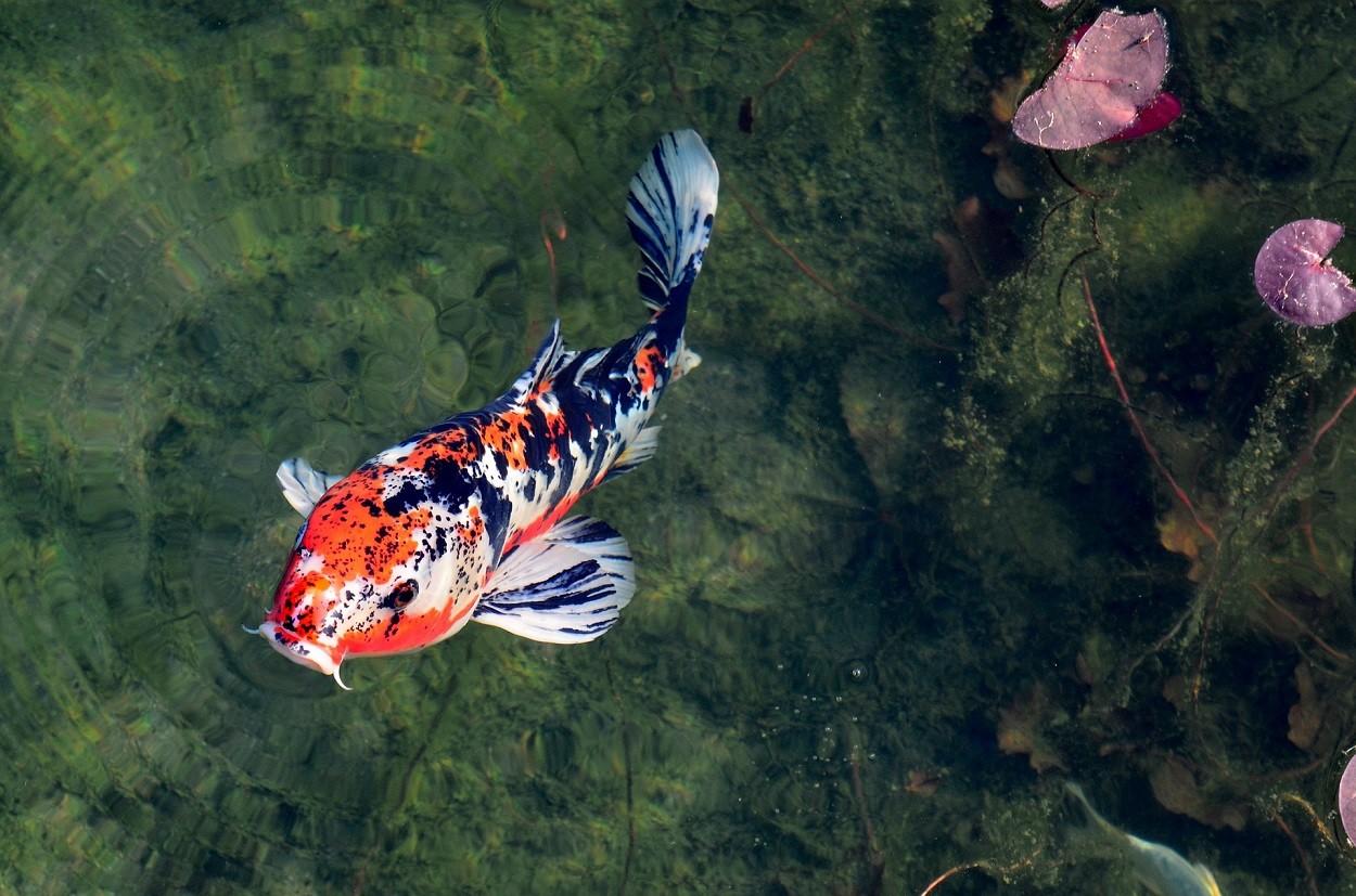 Carpa koi: pesce ornamentale