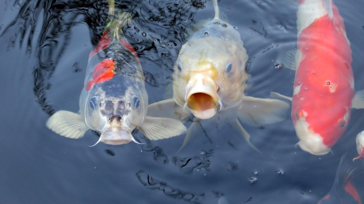 Carpe koi: pesci d'acqua dolce
