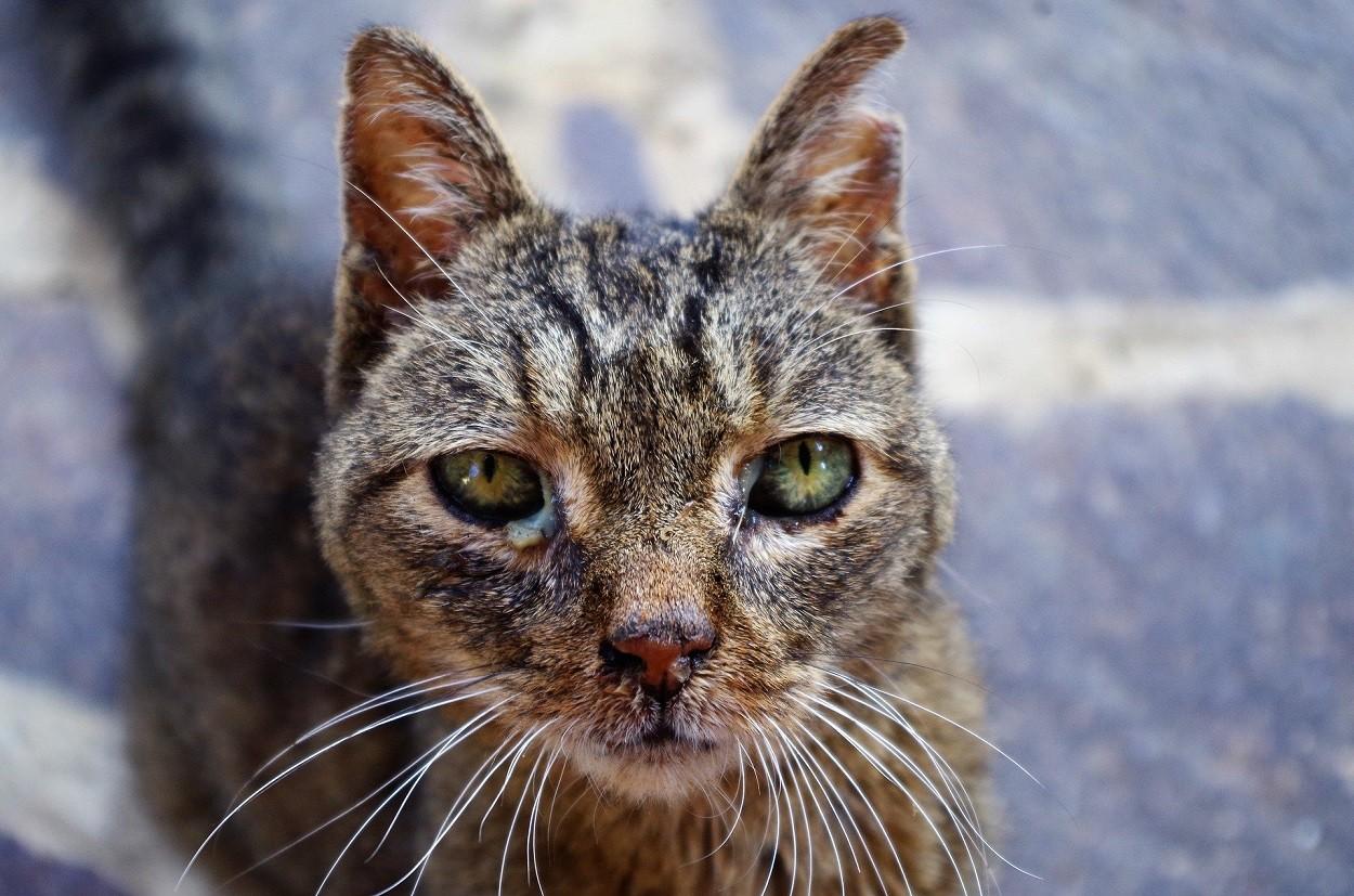 Malattie dei gatti: congiuntivite