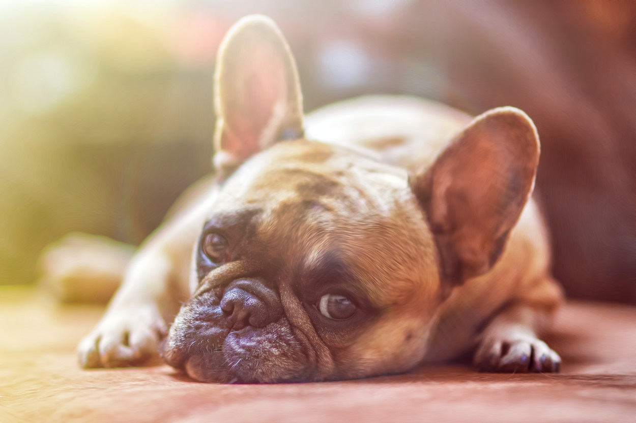 malattie del cane, bouledogue francese