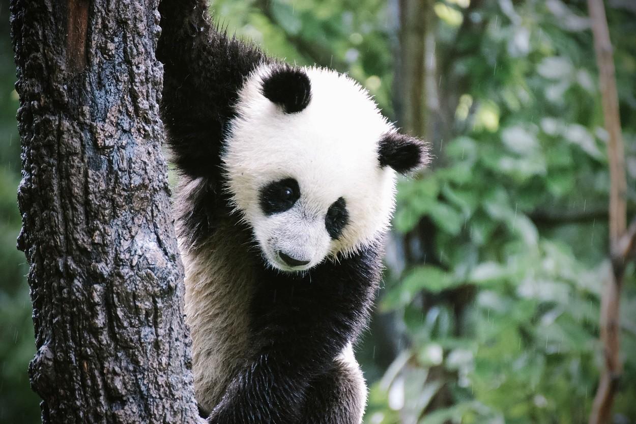 panda cucciolo