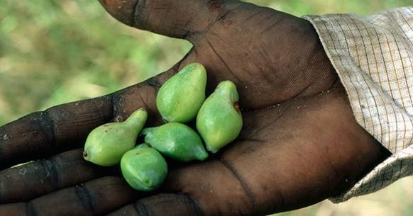 Prugna Kakadu e vitamina C