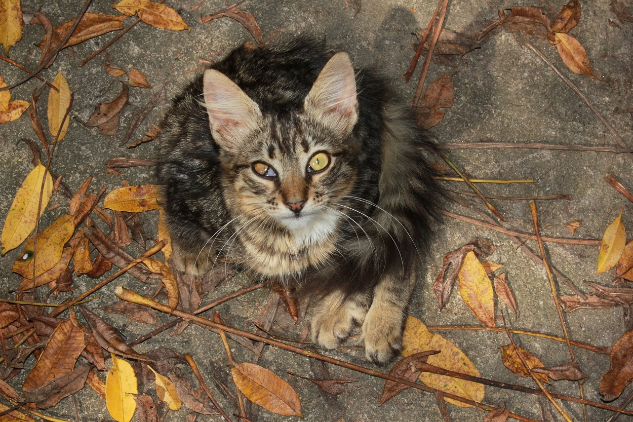 Procidenza terza palpebra gatto