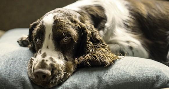 Cane e cuscino