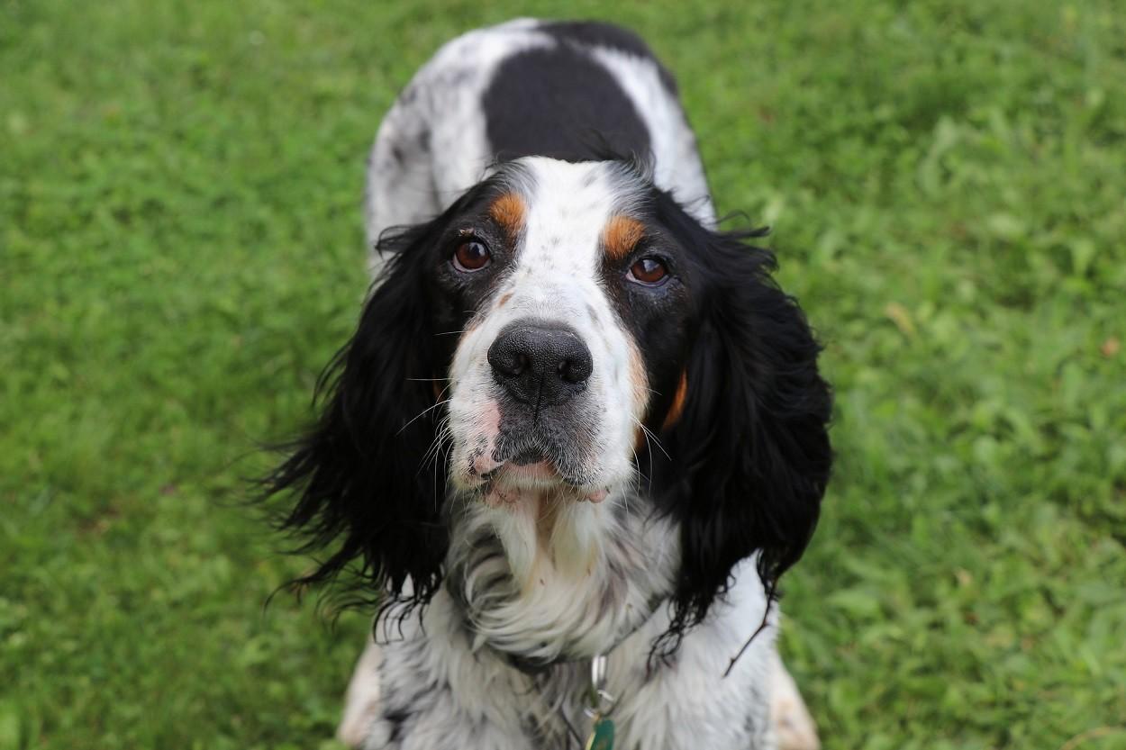 Cani da ferma: Setter inglese