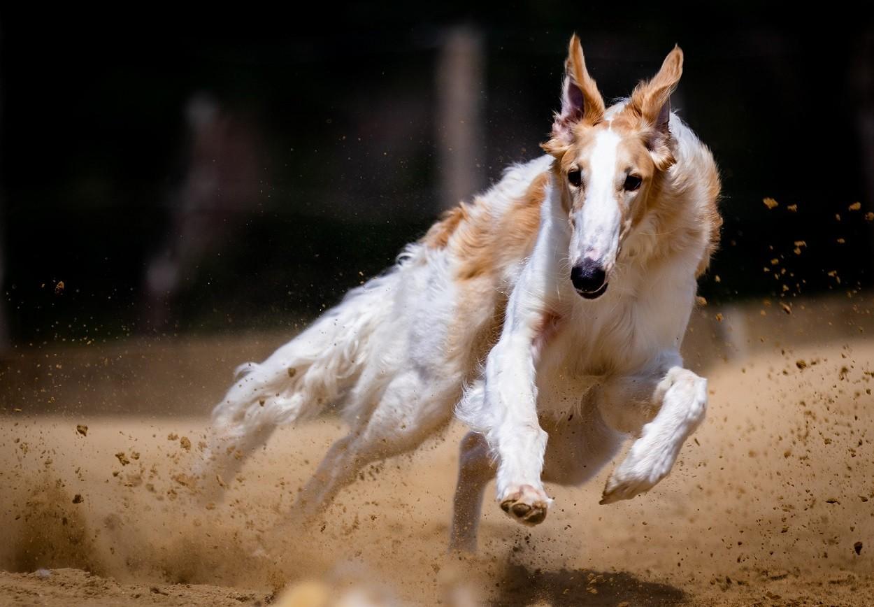 Cani levrieri: Borzoi