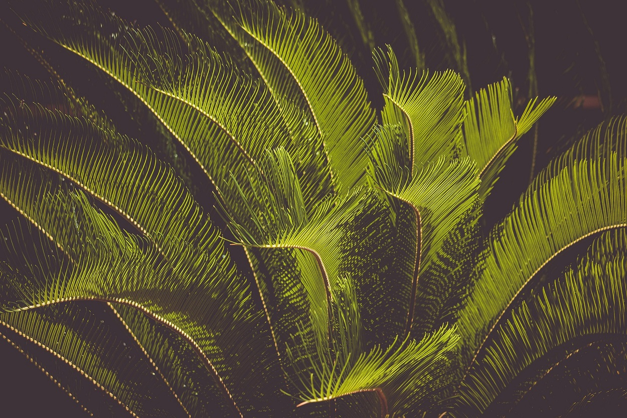 Palma cycas, tossica per i gatti